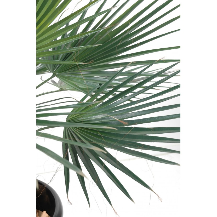 palmier washingtonia 120 3