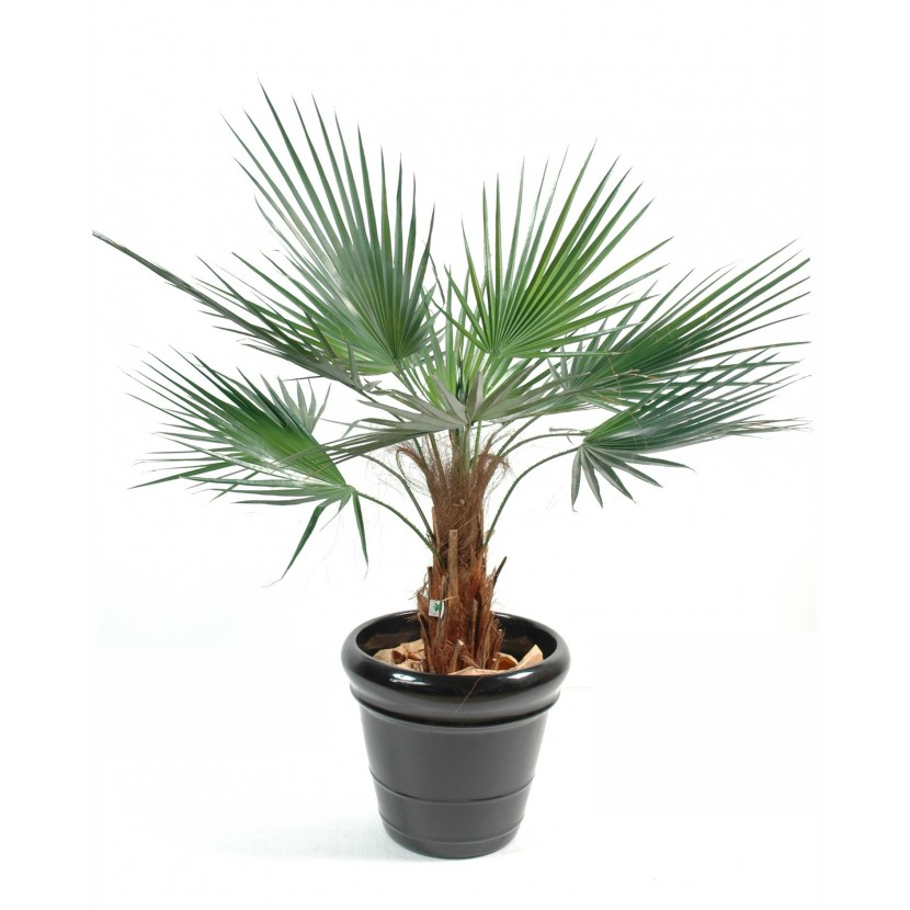 palmier washingtonia 120