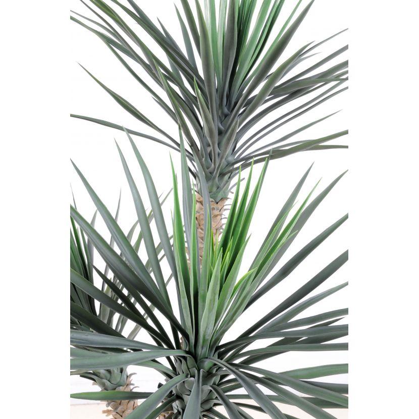 yucca rostrata 155-cm 2