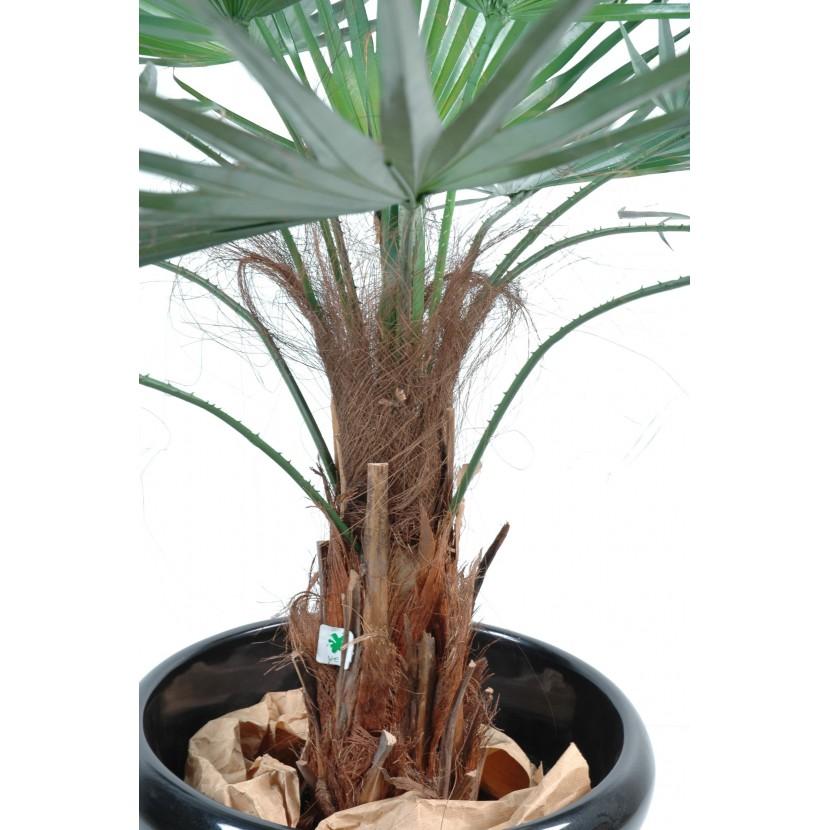 palmier washingtonia 120 2