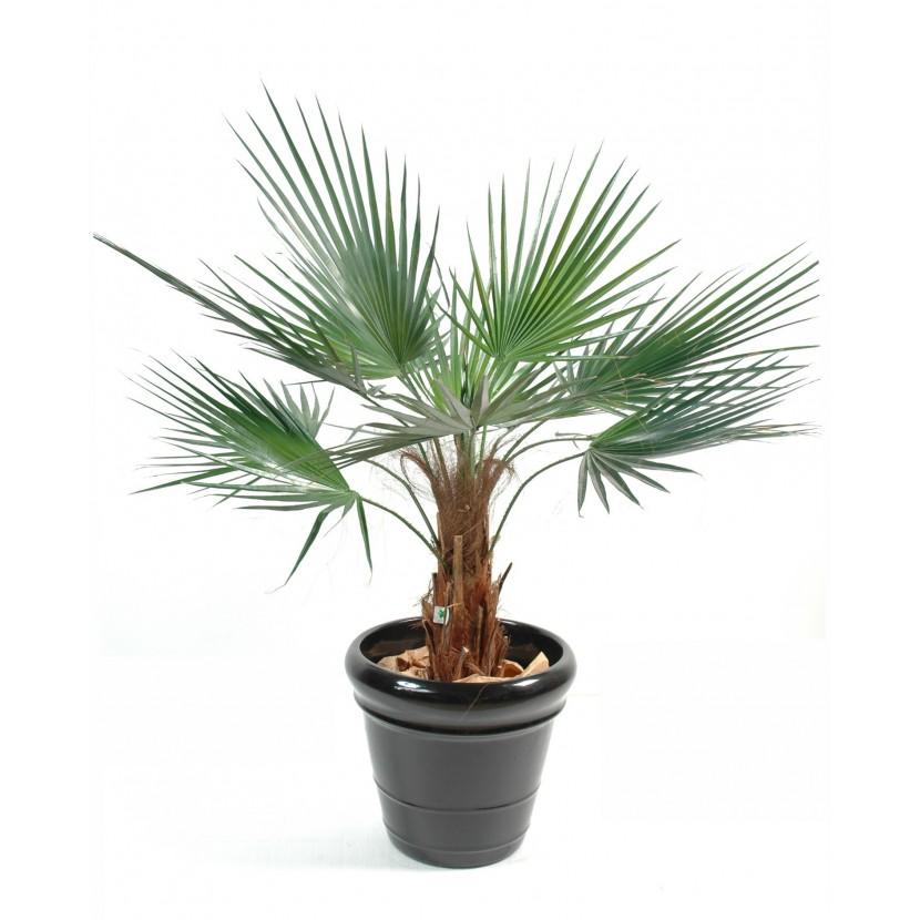 palmier washingtonia 120